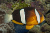 Barrier reef anemonefish. Image #08825