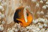Fire clownfish. Image #08828