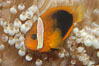 Fire clownfish. Image #08829