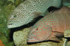 Squaretail coralgrouper (upper) and spotted coralgrouper (lower). Image #08835