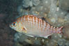 Rainbow surfperch. Image #09008