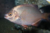 Striped surfperch. Image #09010