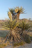 Mojave yucca in springtime bloom. Joshua Tree National Park, California, USA. Image #09096