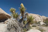 Mojave yucca in springtime bloom. Joshua Tree National Park, California, USA. Image #09097