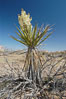 Mojave yucca in springtime bloom. Joshua Tree National Park, California, USA. Image #09098