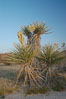 Mojave yucca in springtime bloom. Joshua Tree National Park, California, USA. Image #09103