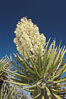 Fruit cluster of the Mojave yucca plant. Joshua Tree National Park, California, USA. Image #09106