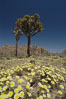 Joshua Trees rise above a patch of white tackstems. Spring. Joshua Tree National Park, California, USA. Image #09118