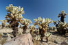A small forest of Teddy-Bear chollas is found in Joshua Tree National Park. Although this plant carries a lighthearted name, its armorment is most serious. California, USA. Image #09126