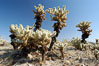 A small forest of Teddy-Bear chollas is found in Joshua Tree National Park. Although this plant carries a lighthearted name, its armorment is most serious. California, USA. Image #09127