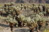 A small forest of Teddy-Bear chollas is found in Joshua Tree National Park. Although this plant carries a lighthearted name, its armorment is most serious. California, USA. Image #09128