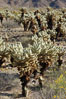 A small forest of Teddy-Bear chollas is found in Joshua Tree National Park. Although this plant carries a lighthearted name, its armorment is most serious. California, USA. Image #09129