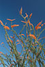 Flower detail on a blooming Ocotillo, springtime. Joshua Tree National Park, California, USA. Image #09166