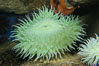 Green sea anemone. Image #09244