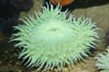 Green sea anemone. Image #09245