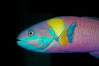 Cortez rainbow wrasse, terminal male phase sometimes referred to as supermale. Image #09297