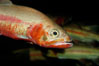 Golden trout. Image #09415
