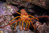 Spiny lobster in rocky crevice. Guadalupe Island (Isla Guadalupe), Baja California, Mexico. Image #09562