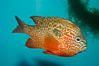 Longear sunfish, native to the watersheds of the Mississippi River and Great Lakes. Image #09801
