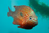 Longear sunfish, native to the watersheds of the Mississippi River and Great Lakes. Image #09803