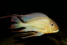 Earth-eating cichlid, native to South American rivers. Image #09821