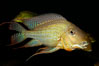 Earth-eating cichlid, native to South American rivers. Image #09823