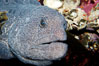 Wolf eel, although similar in shape to eels, is cartilaginous and not a true fish.  Its powerful jaws can crush invertibrates, such as spiny sea urchins.  It can grow to 6 feet (2m) in length. Image #09835