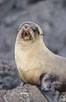 Galapagos fur seal. James Island, Galapagos Islands, Ecuador. Image #10069