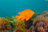Garibaldi swims over a kelp covered reef. San Clemente Island, California, USA. Image #10192