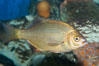 Striped sea perch. Image #10275