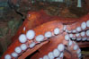 Tentacles (arms) and white disc-like suckers of a Giant Pacific Octopus.  The Giant Pacific Octopus arms can reach 16 feet from tip to tip, and the animal itself may weigh up to 600 pounds.  It ranges from Alaska to southern California. Image #10278