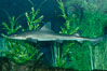 The grey smooth-hound shark is often found in bay, estuaries and rocky shorelines, from the Gulf of California to northern California. Image #10283