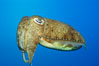 Common cuttlefish. Image #10300