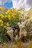 Brittlebush blooming in spring surrounds a cholla cactus, Palm Canyon. Anza-Borrego Desert State Park, Borrego Springs, California, USA. Image #10461