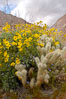 Brittlebush blooming in spring surrounds a cholla cactus, Palm Canyon. Anza-Borrego Desert State Park, Borrego Springs, California, USA. Image #10472