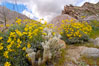 Brittlebush blooming in spring surrounds a cholla cactus, Palm Canyon. Anza-Borrego Desert State Park, Borrego Springs, California, USA. Image #10473