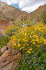 Brittlebush (yellow) and wild heliotrope (blue) bloom in spring, Palm Canyon. Anza-Borrego Desert State Park, Borrego Springs, California, USA. Image #10474