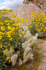 Brittlebush blooming in spring surrounds a cholla cactus, Palm Canyon. Anza-Borrego Desert State Park, Borrego Springs, California, USA. Image #10536