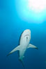 Caribbean reef shark with small sharksucker visible on underside. Bahamas. Image #10553