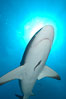 Caribbean reef shark with small sharksucker visible on underside. Bahamas. Image #10560