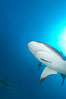 Caribbean reef shark with small sharksucker visible on underside. Bahamas. Image #10561