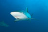 Caribbean reef shark with small sharksucker visible on underside. Bahamas. Image #10571