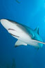 Caribbean reef shark with small sharksucker visible on underside. Bahamas. Image #10617