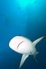 Caribbean reef shark with small sharksucker visible on underside. Bahamas. Image #10629