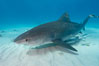 Tiger shark and live sharksucker (remora). Bahamas. Image #10669