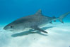 Tiger shark and live sharksucker (remora). Bahamas. Image #10670