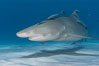 Lemon shark with live sharksuckers. Bahamas. Image #10764