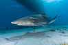 Lemon shark with live sharksuckers. Bahamas. Image #10781