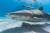 Lemon shark with live sharksuckers. Bahamas. Image #10789
