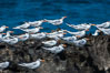 Royal terns. Great Isaac Island, Bahamas. Image #10821